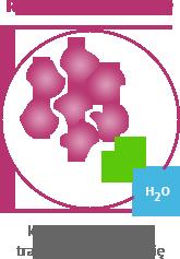 Roztwór hipertoniczny - komórki organizmu tracą wodę i kurczą się
